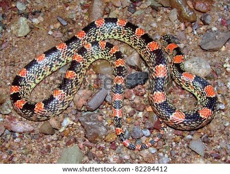 Western Longnose Snake, Rhinocheilus lecontei - stock photo