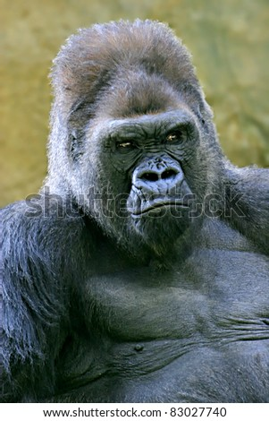 Western Lowland Gorilla - dominant, 'silverback' adult male - endangered - stock photo