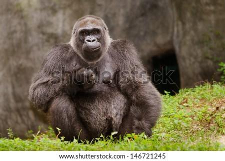 Western Lowland gorilla (Gorilla gorilla gorilla) - stock photo