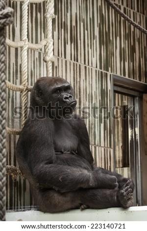 Western lowland gorilla (Gorilla gorilla gorilla) in captivity - sad expression. - stock photo