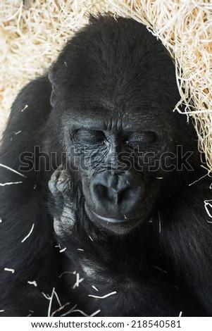 Western lowland gorilla (Gorilla gorilla gorilla) sleeping. - stock photo
