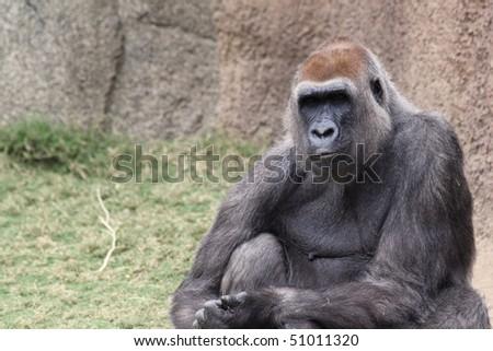 Western Lowland Gorilla Sitting - stock photo