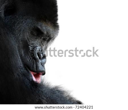 western lowland gorilla sleeping peacefully - stock photo