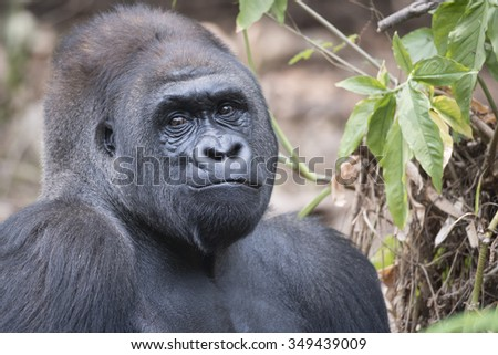 Western Lowland Silverback Gorilla Friendly Face - stock photo