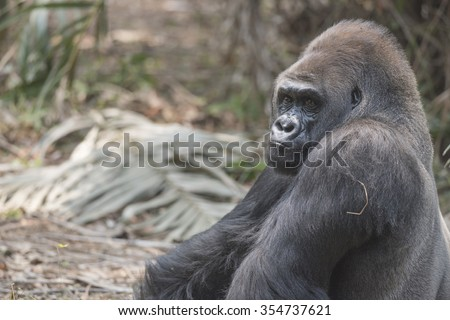 gorillas in verge of extinction Mountain gorillas face extinction: conservationist associated press  and the park's remaining hippos are also on the verge of extinction.