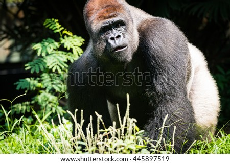 Western Lowland Silverback Gorilla Roaming His Territory