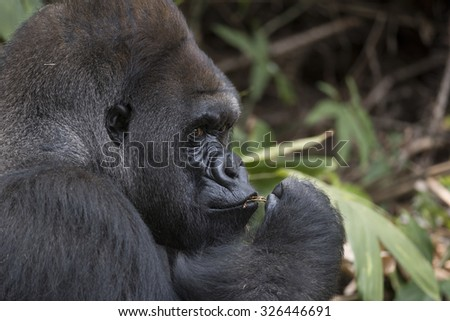 Western Lowland Silverback Gorilla with Small Stick on his mouth