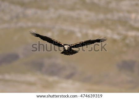 Western Marsh Harrier hawk flying