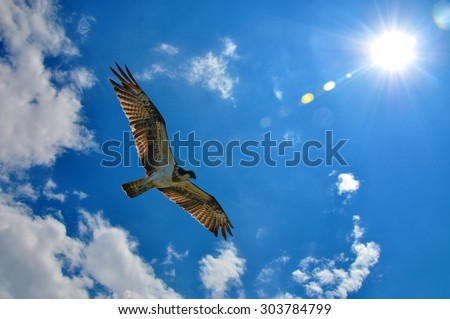 Western Osprey (Pandion haliaetus) showing wing spread on sky and sun background - stock photo