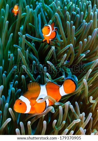 Western Pacific Clownfish inside the tentacles of their host anemone - stock photo