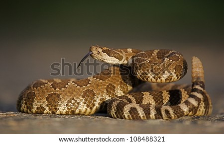 Western Rattlesnake coiled with rattle erect and forked tongue extended - stock photo