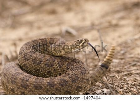 Western rattlesnake strike ready - stock photo
