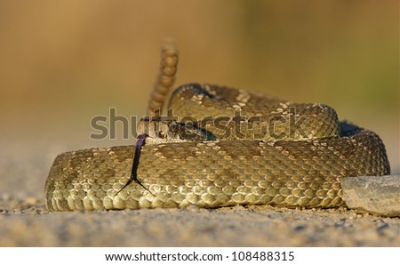 Western Rattlesnake with rattle erect and forked tongue extended - stock photo