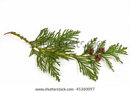 Western Red Cedar branch with tiny cones isolated on white background - stock photo