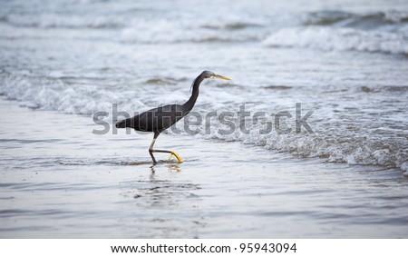 Western Reef Heron (Egretta gularis) - stock photo