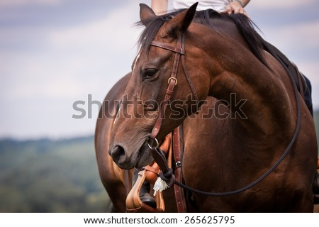 western ride style, horse with rider, blue background, horse listen to the rider, horse riding - stock photo