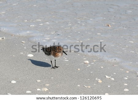 Western Sandpiper (Calidris mauri) on a Sandy Florida Beach - stock photo