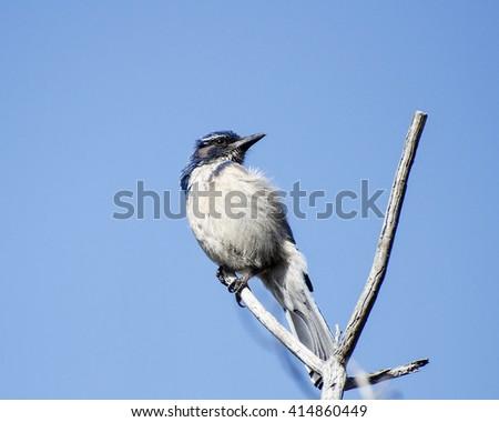 Western Scrub-Jay (Aphelocoma californica), Leo Carrillo State Park, Malibu, CA, USA. - stock photo