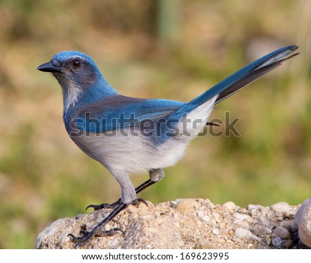 Western Scrub-Jay (Aphelocoma californica) perched on a rock in the Texas Hill Country - stock photo