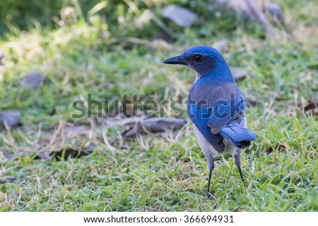 Western Scrub-Jay, Aphelocoma californica, searching for a meal - stock photo