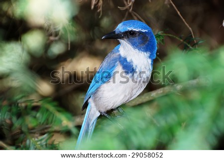 Western scrub jay or aphelocoma californica standing on a tree branch. - stock photo