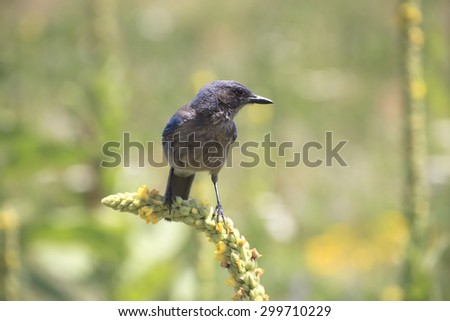 Western Scrub Jay perched on a flower ready to Hunt - stock photo
