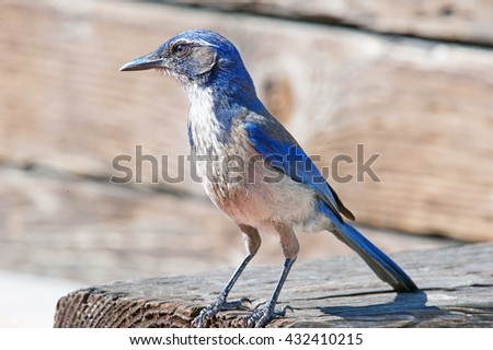 Western Scrub-Jay Perched on a Wooden Fence - stock photo