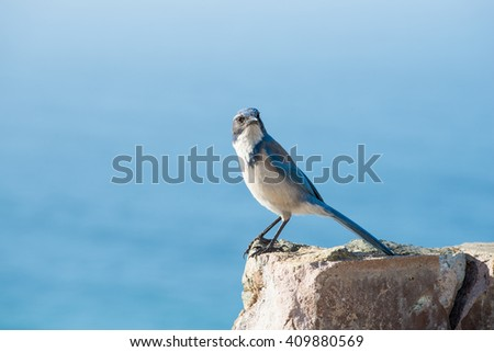 Western Scrub Jay waiting on rock - stock photo