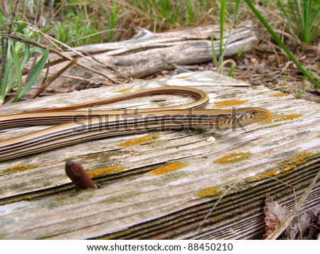 Western Slender Glass Lizard, Ophisaurus attenuatus, coiled on a board in its habitat - stock photo
