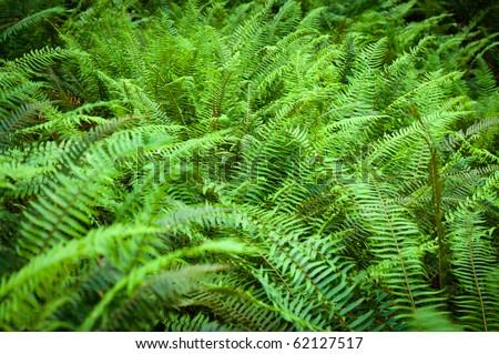 Western sword fern leaflets (Polystichum munitum) - stock photo