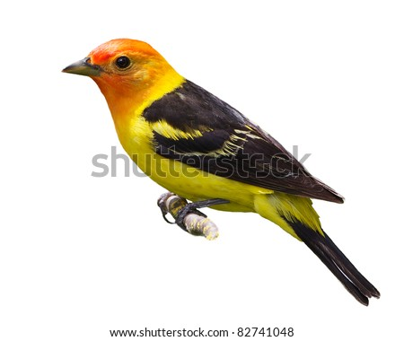 Western tanager isolated on white - stock photo