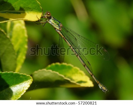 Western Willow Spreadwing (Female, Lestes viridis)