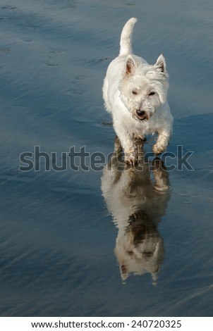Westie on the beach with reflection in the sand  - stock photo