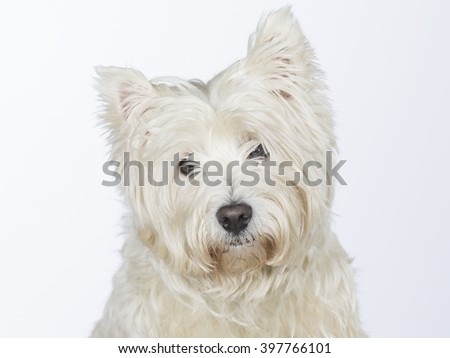 Westie portrait. The dog breed is West Highland White Terrier. Image taken in a studio.