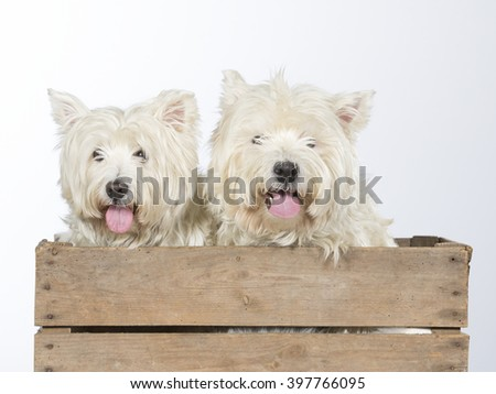 Westie portrait. Two dogs are sitting in an antique wooden box. The dog breeds are West Highland White Terrier. Image taken in a studio.
