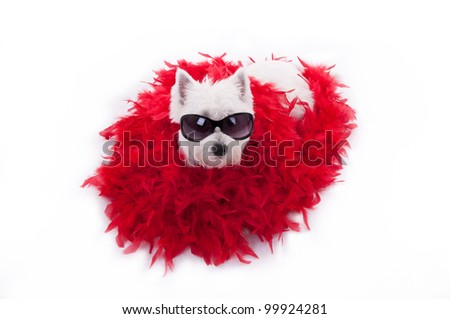 westie terrier with sun glasses and red shaw - stock photo