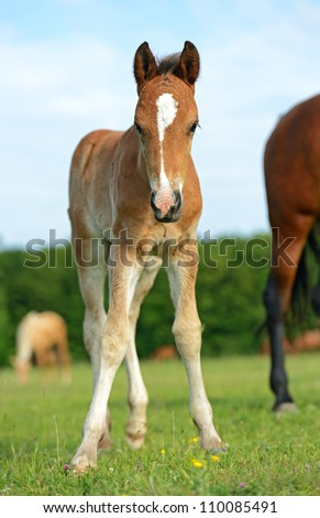 westphalian horse with foal - stock photo