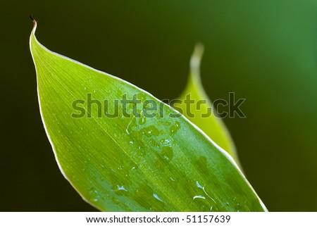 wet banana leaves,closeup - stock photo