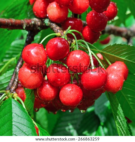 Wet berries of sweet cherries on the branch among green leaves after a rain - stock photo