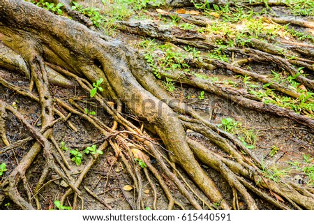 wet big root of banyan tree in the nature