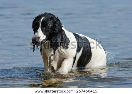 wet black and white mixed-Breed dog emerging from the sea - stock photo