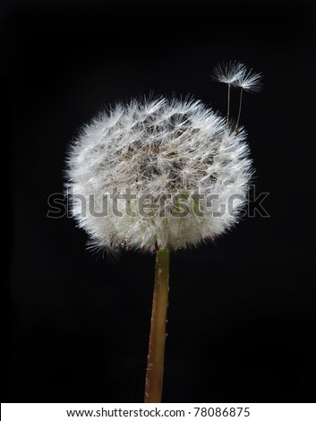 Wet  blow ball on the black background. - stock photo