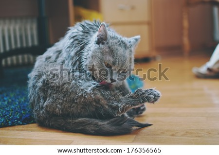 wet british shorthair cat licking itself after bath - stock photo