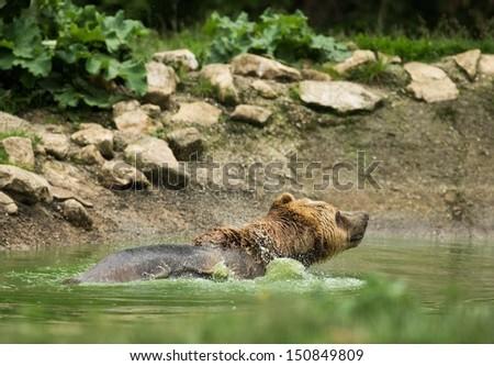 Wet brown bear taking a bath - stock photo
