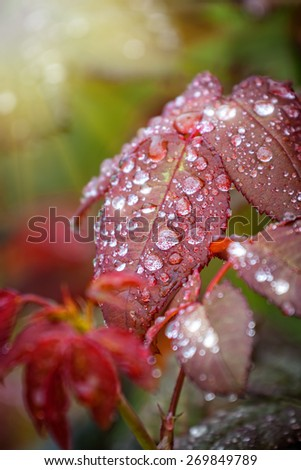 wet brown leaf detail with water droplets stuck to the surface outdoors in a fresh garden - stock photo