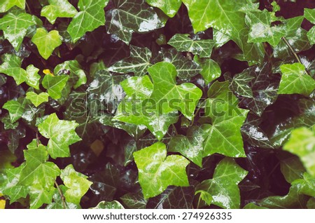 wet common ivy green carpet with new and old leaves close up - green nature background - stock photo