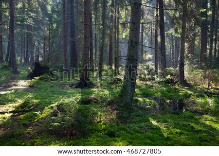 Wet coniferous stand in morning,Bialowieza Forest,Poland,Europe