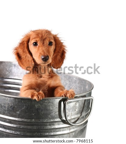 Wet dachshund puppy in a bucket - stock photo