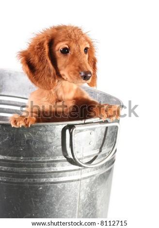 Wet dachshund puppy in a tub. - stock photo
