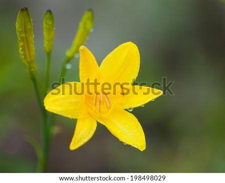 wet dailily flower macro natural background - stock photo